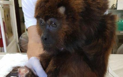 Macaco ferido ganha nova vida comtécnica revolucionária